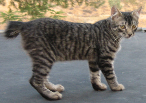 Tabby Female Bobtail - Shorter Tail