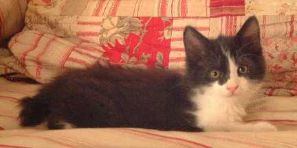 Black & White Male Manx