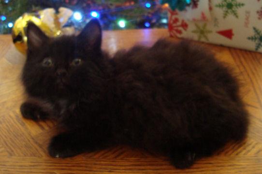 Normal toed, black, fluffy, male, mini bobtail manx kitten