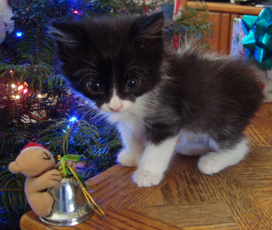 20 toed polydactyl, black/white, manx male kitten