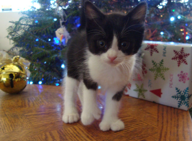 22 toed polydactyl, black/white, normal tailed, female kitten
