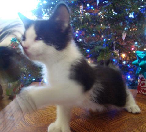 22 toed polydactyl, black/white, manx mini-bobtail, male kitten