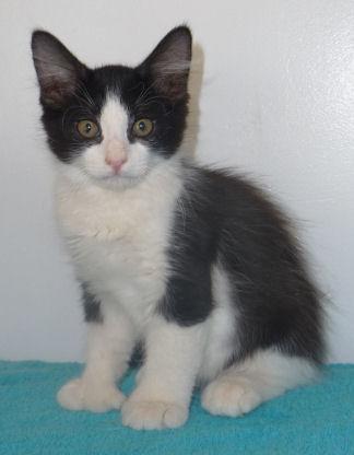 Furry Tuxedo 22 toed Male Polydactyl Kitten