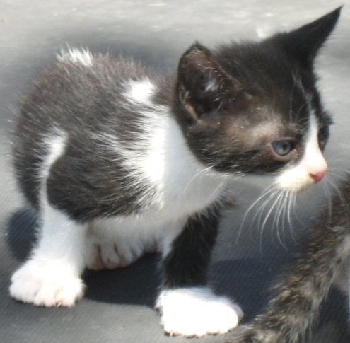 Black/white polydactyl male