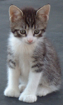 Tabby Poly Manx Female