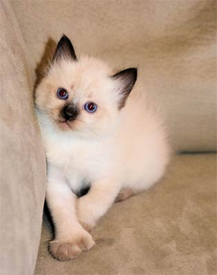 Polydactyl, Manx & Poly Manx Kittens for Sale Summer 2014