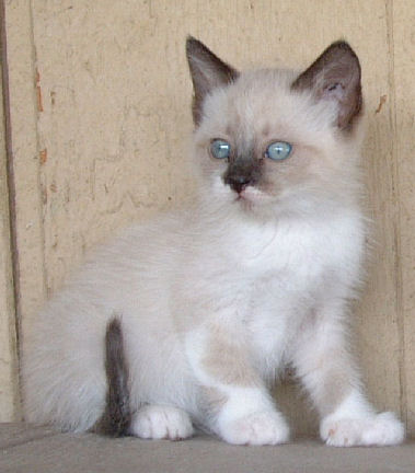 Poly Siamese Female