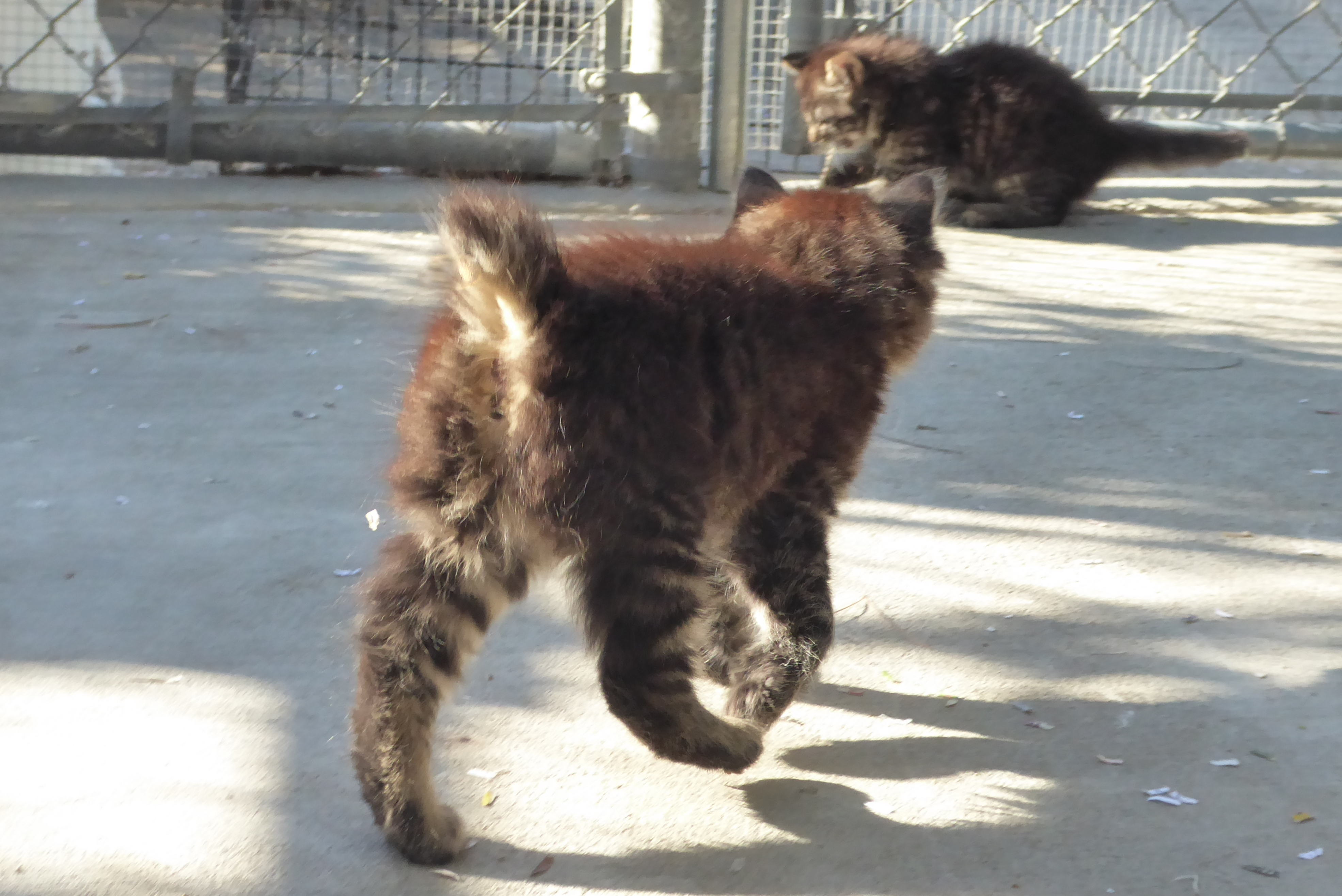Polydactyl Manx & Poly Manx Kittens for Sale Spring 2017