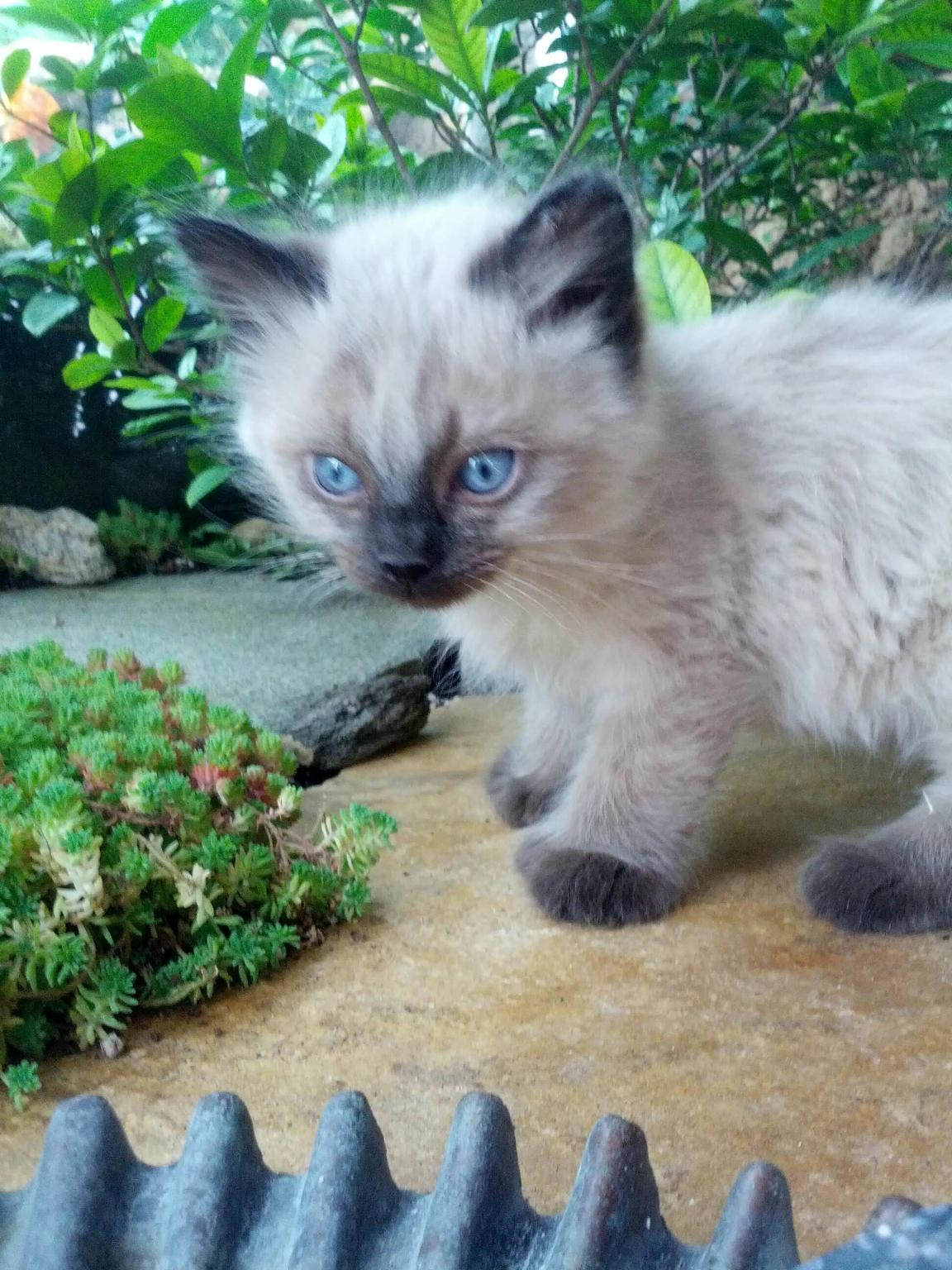 Polydactyl, Manx & Poly Manx Kittens for Sale Winter 2016