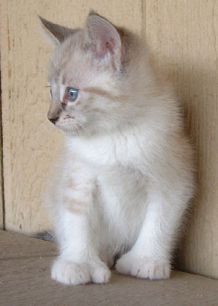 Male Siamese Poly Kitten