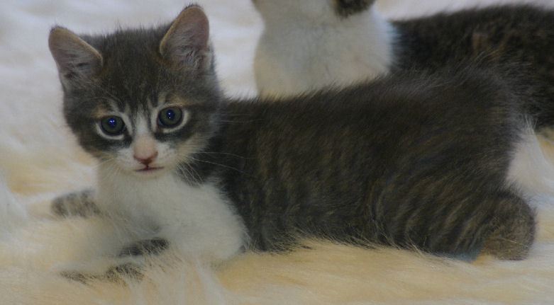 Tabby's Gray/White Male Cotton Tailed Manx Kitten ~ SOLD