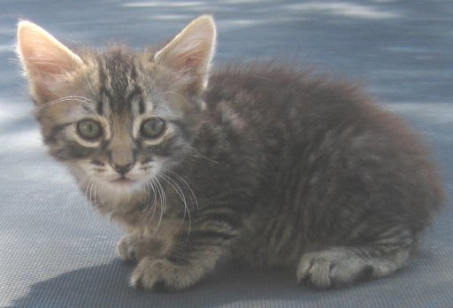 Tabby Manx Female Cotton Tail
