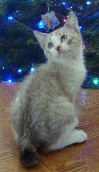 22 toed polydactyl, siamese, manx bobtail, male kitten