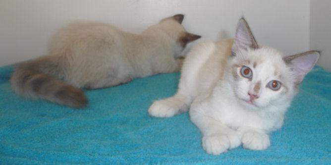 Siamese Female 20 toed female Kitten
