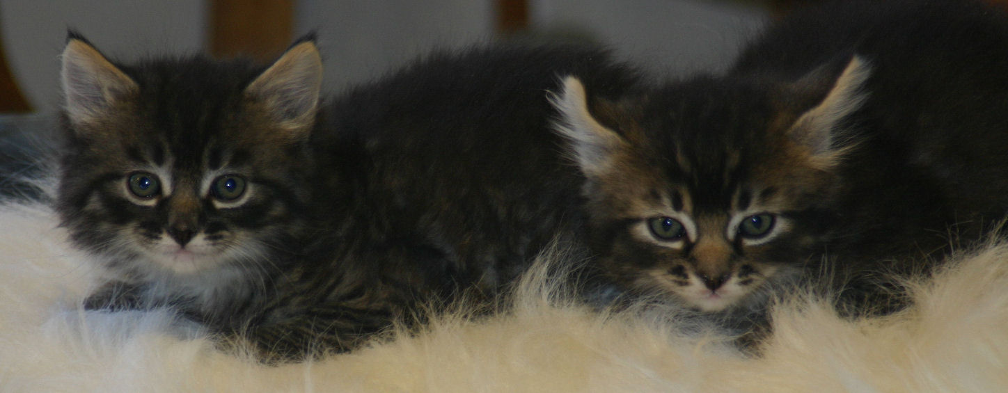 Manx & Polydactyl Kittens for Sale