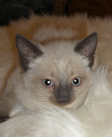 Siamese normal toed and tailed male kitten.