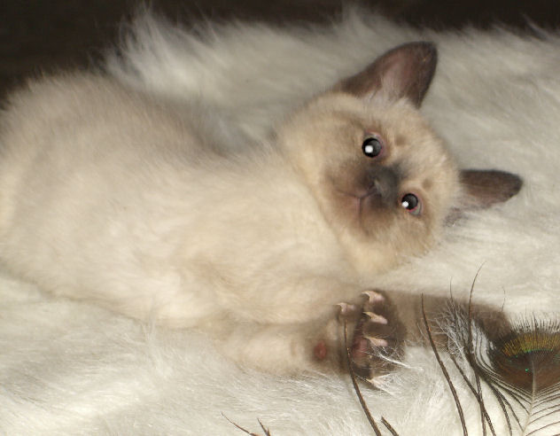 Siamese normal toed and tailed male kitten. ~ SOLD