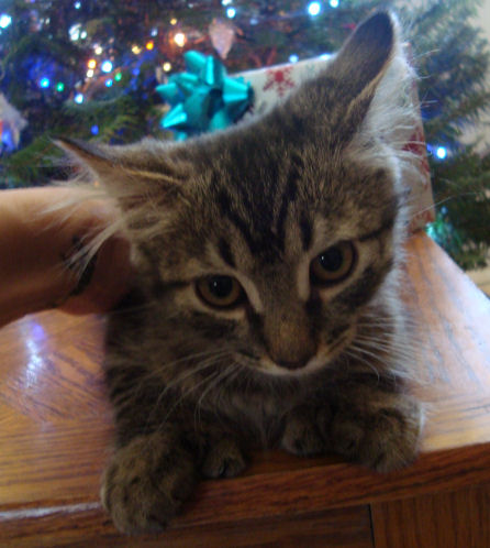 22 toed polydactyl, brown tabby, normal tailed, female kitten
