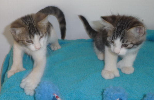 Brown tabby and white polydactyl normal tailed male and female