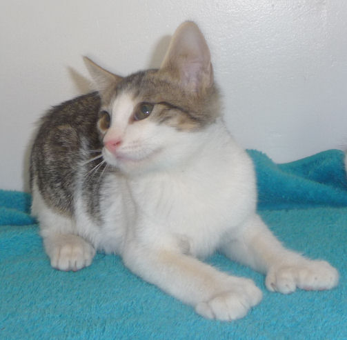 Brown tabby and white polydactyl normal tailed female - six toes on both front paws, 5 toes on her right rear paw, and 4 toes on her left rear paw