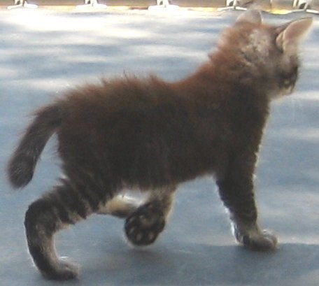 Tabby Manx Male Twisted Tail