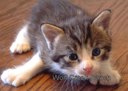 Tabby & White Poly Manx Female