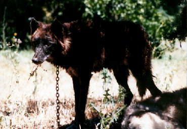 Nik - This is Nikko 1 year before she came to live with us.  Here she's on a heavy chain/leash.  Her previous owner is a professional animal trainer.  He taught her to stay inside a 2' high electric fence.  She looks much different today.  Keep clicking the photo button and see if you can recognize her.